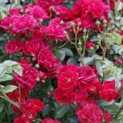 Róża okrywowa ' Fairy Dance'