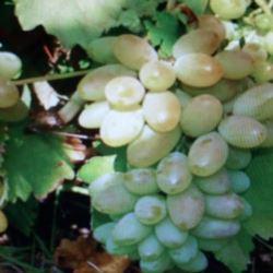 Winorośl ' Nadieżda Azos'