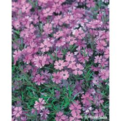 Płomyk szydlasty ' Purple Beauty'