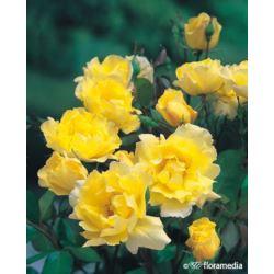 Róża ' Elfrid'