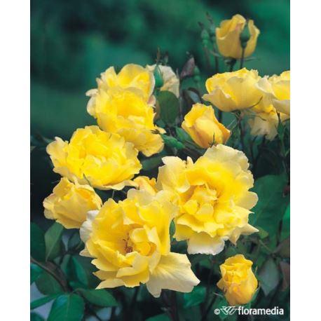 Róża pnąca 'Golden Showers'