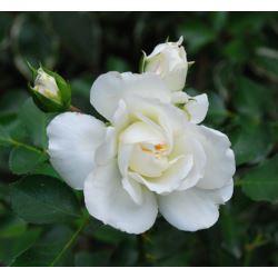 Róża okrywowa ' Alba Meidiland'