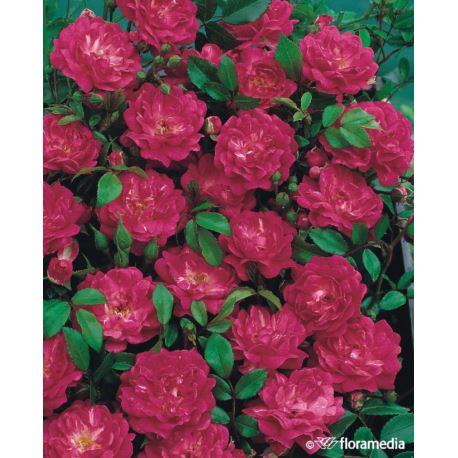 Róża okrywowa ' Lovely Fairy'
