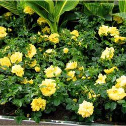Róża okrywowa ' Yellow Fairy'